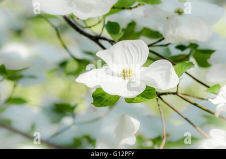 Flower on dogwood tree. - Stock Photo