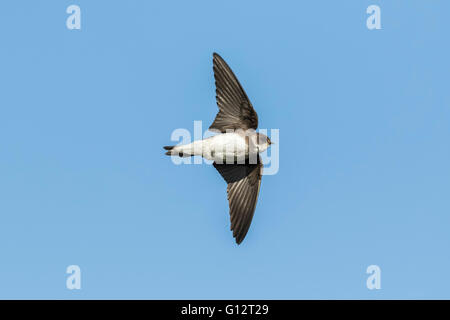 Sand martin, Riparia riparia, also known as bank swallow in flight, hovering in the sky in search for a prey. - Stock Photo