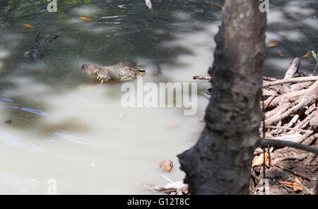 crocodile with closed mouth in Vietnam - Stock Photo