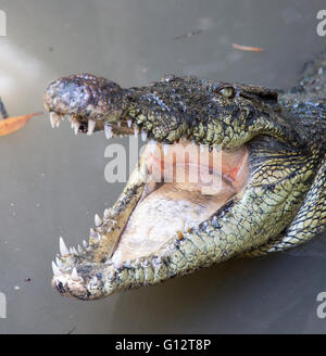 crocodile with open mouth in Vietnam - Stock Photo