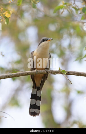 Mangrove Cuckoo (Coccyzus minor) - Stock Photo