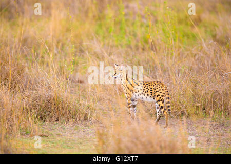 Wild serval looking after prey in Serengeti - Stock Photo