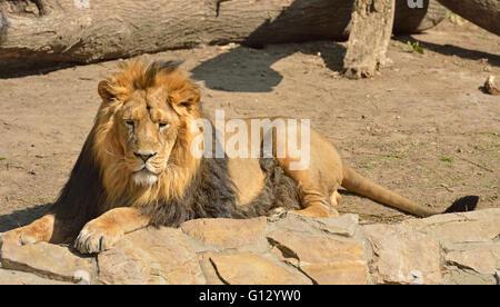 Resting Asiatic lion (Panthera leo persica) - Stock Photo