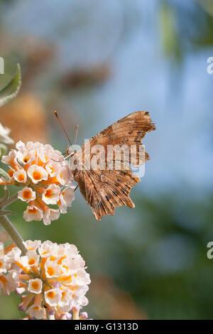 Comma,  Polygonia c-album,  Single adult feeding on buddleia flowers.  Essex, UK. - Stock Photo