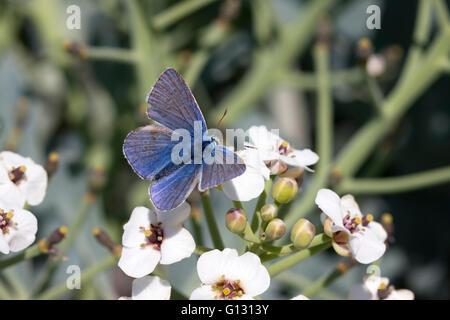 Common Blue Butterfly Polyommatus icarus Single adult male feeding on flowers of Sea Kale, Crambe maritima Minsmere, - Stock Photo