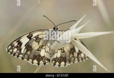 Bottom view of the Marbled white (Melanargia galathea) on a spike. - Stock Photo