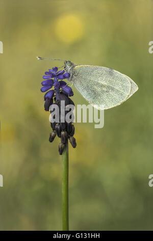 Small white (Pieris rapae) perched on a flower of common grape hyacinth (Muscari neglectum). - Stock Photo