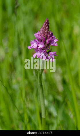 Pyramidal orchid, Anacamptis pyramidalis, orchis, Bordeaux, France. - Stock Photo