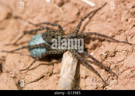 Wolf spider (Pardosa sp.) female with egg sac. Blue silk containing eggs attached to spinarets of female in family - Stock Photo