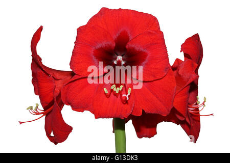 Amaryllis flower hippeastrum red lion - Stock Photo