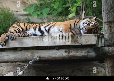 Sumatran Tiger (Panthera Tigris Sumatrae) Sleeping at San Antonio Zoo San Antonio Texas USA