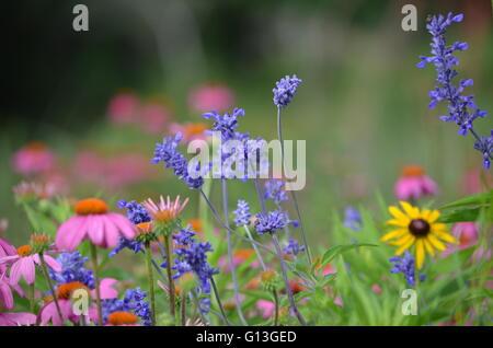 Eastern Purple Coneflower ((Echinacea Purpurea) Flowers and Mealy Blue Sage (Salvia Farinacea) With Black Eyed Susan - Stock Photo