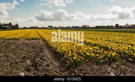 Yellow daffodil bulbs field in full flower with perspective leading lines to the horizon under a blue white clouded - Stock Photo