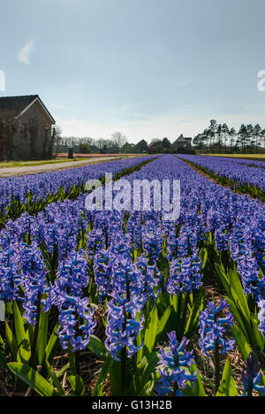 Purple blue Hyacinths flower field in full bloom, with perspective leading lines to the horizon, and farm houses - Stock Photo