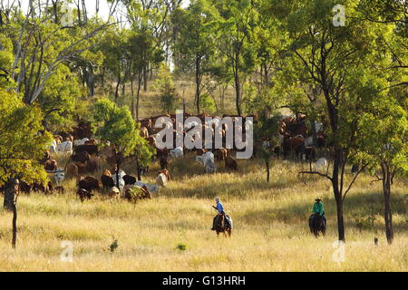 Two drovers guide a cattle mob on 'Eidsvold Station' near Eidsvold, Queensland, Australia during a cattle drive. Stock Photo