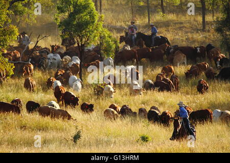 Drovers guide a cattle mob on 'Eidsvold Station' near Eidsvold, Queensland, Australia during a cattle drive. Stock Photo