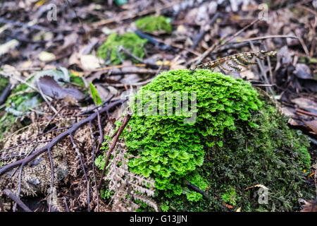New Zealand | Green Moss growing on forest floor - Stock Photo