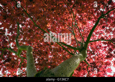 Red leaves of Japanese Maple Acer palmatum 'Atropurpureum' seen from below with early summer foliage backlit in - Stock Photo