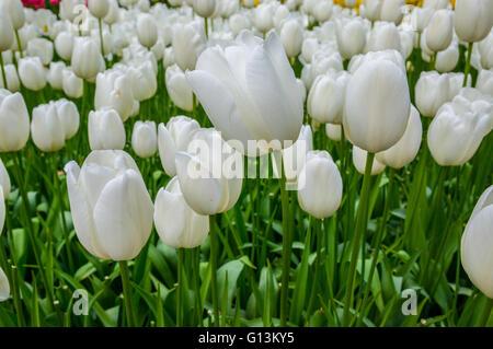 White tulips in macro in Keukenhof Park, Lisse in Holland. - Stock Photo