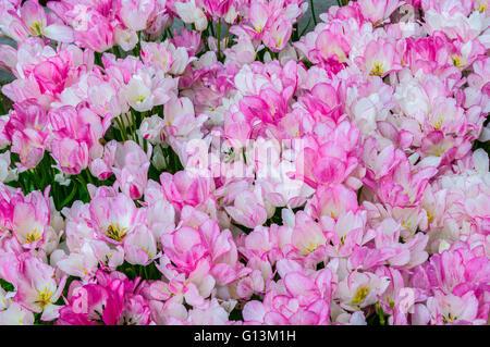 White pink tulips in Keukenhof Park, Lisse in Holland. - Stock Photo
