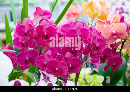 Beautiful pink blooming orchid flowers in macro. - Stock Photo