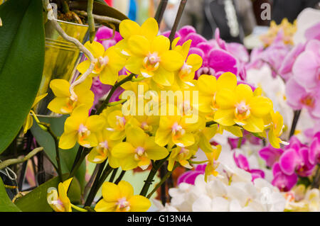 Beautiful yellow blooming orchid flowers in macro. - Stock Photo