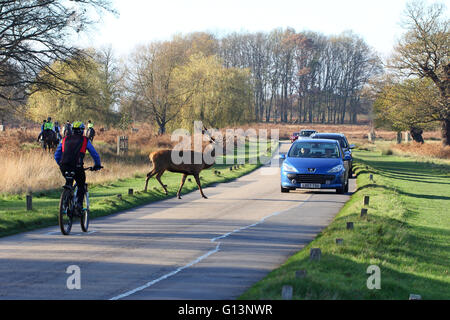 A male Red deer (Cervus Elaphus) crossing the road in front of cars and bicycle traffic in Richmond Park, London. - Stock Photo
