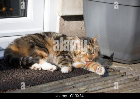 Domestic Tabby Cat Portrait of single adult resting and licking leg on mat outside back door. Worcestershire, UK - Stock Photo