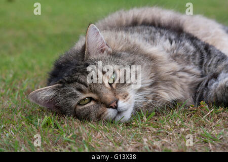 Domestic Long-haired Cat Portrait of single adult resting on grass Hampshire, UK - Stock Photo