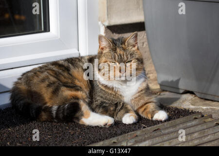 Domestic Tabby Cat Portrait of single adult resting on mat outside back door. Worcestershire, UK - Stock Photo