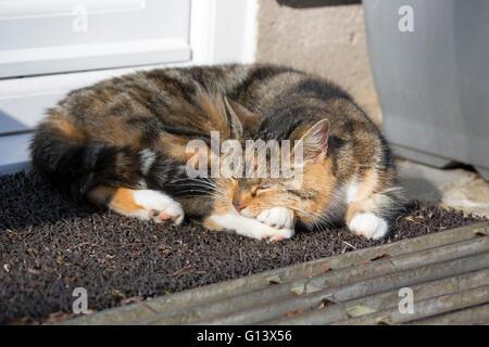 Domestic Tabby Cat Portrait of single adult sleeping on mat outside back door. Worcestershire, UK - Stock Photo