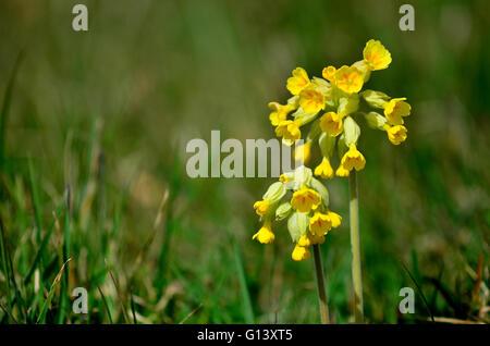cowslip primula veris Dorset UK - Stock Photo