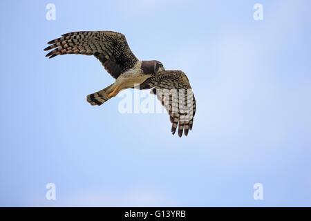 Long-winged Harrier (Circus buffoni) - Stock Photo