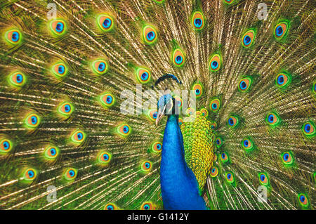 Male peacock spreading his wings - Stock Photo
