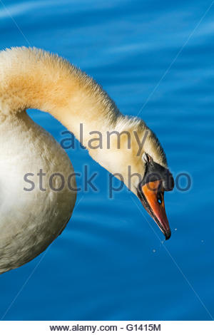 Portrait of a grooming Mute Swan shaking off water droplets. Set off by rich blue water. - Stock Photo