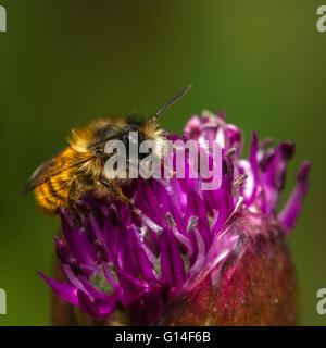 Red Mason Bee (Osmia bicornis) male feeding on allium flower - Stock Photo