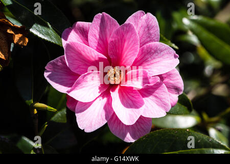 Pink Camellia Plant in Bloom in Natural Sunlight Outdoors - Stock Photo