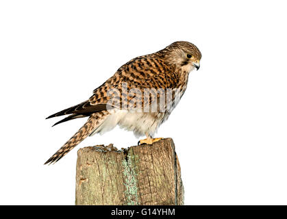 Kestrel - Falco tinnunculus - Stock Photo