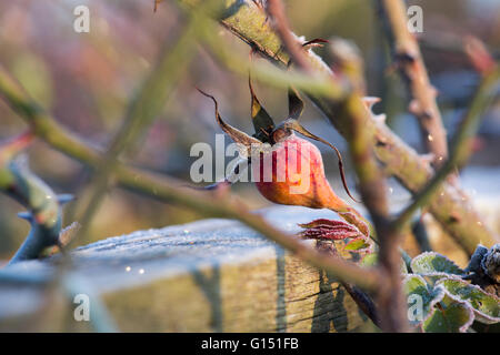 Rose Etoile de Hollande. Rose Hip covered in frost - Stock Photo