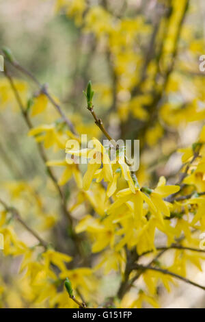 Forsythia ovata flowering in springtime. UK - Stock Photo