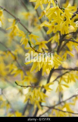 Forsythia ovata flowering in springtime. UK - Stock Photo