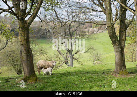 Ewe and lamb in a field overlooking the cotswold village of Bibury. Gloucestershire, England - Stock Photo