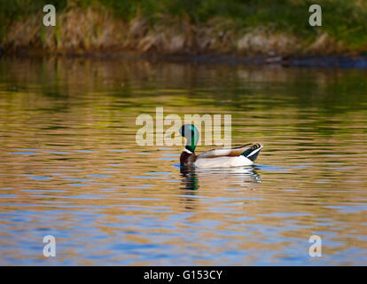 A mallard duck swimming in pond on spring day. - Stock Photo
