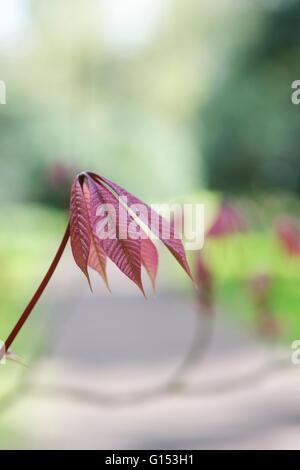 Aesculus Parviflora. Dwarf buckeye tree leaves in spring. UK - Stock Photo
