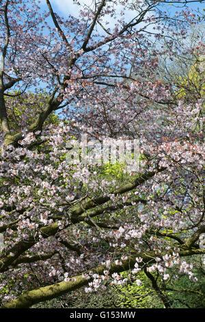 Prunus Sargentii. Sargents cherry tree blossom at Westonbirt Arboretum. Gloucestershire, England - Stock Photo