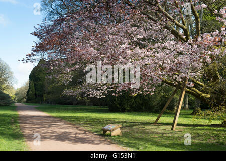 Prunus Sargentii. Sargents cherry tree in blossom at Westonbirt Arboretum. Gloucestershire, England - Stock Photo