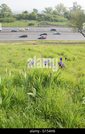 Blue bearded irises on M25 embankment - Stock Photo