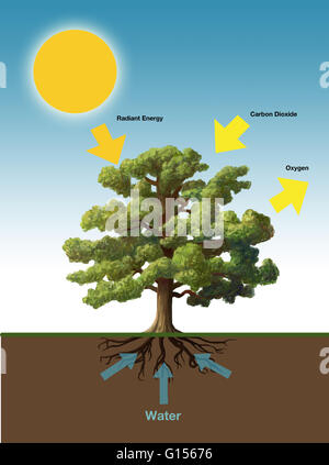 Diagram Showing Process Of Photosynthesis Illustration Stock Vector