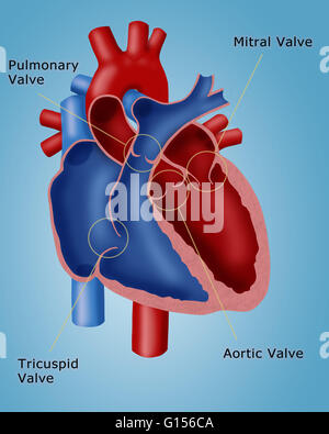 Heart valves showing pulmonary valve mitral valve and tricuspid illustration of a heart showing the four valves pulmonary valve mitral valve tricuspid ccuart Gallery