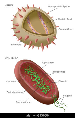 Diagram showing the structure of a typical virus virus particles diagram showing typical examples of a virus particle above and a bacterium below ccuart Images